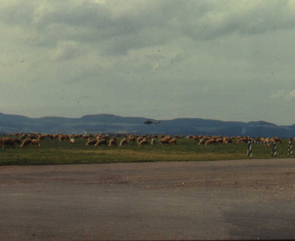 Sheep out on the Flugplatz airfield